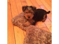 yorkie/yorkshire terrier pup