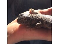 uromastyx lizard for a loving home (8 month old)