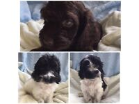 Ready Soon (29th Sep) Stunning litter of Cockapoo Puppy's