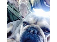 Quality Frenchbull puppies for sale