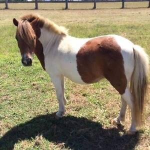 Miniature Horse mares Beaudesert Ipswich South Preview