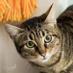 AK1321 : Lyal - CAT for ADOPTION - Vet Work Included Duncraig Joondalup Area Preview