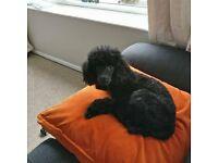 Beautiful Miniature Poodle for sale