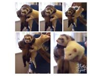 Two adorable ferrets for sale