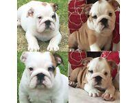 Bulldog puppies ready now huu clear