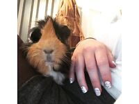 10 month old adorable boar guinea pig, cage and all accessories included.