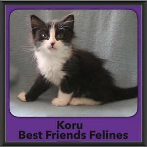 Koru - Best Friends Felines Bonogin Gold Coast South Preview