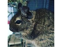 2 male degu brothers for sale. Includes cage toys treats and food