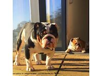 Adorable KC Reg. English Bulldog Puppies. Correct, chunky and with excellent personalities