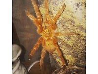 Absolutley gorgeous sunrise orange OBT tarantula