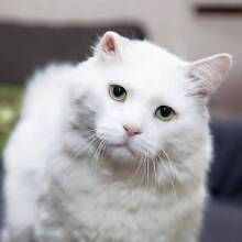 AC0375: Rueben - CAT for ADOPTION - Vet work included Bentley Canning Area Preview