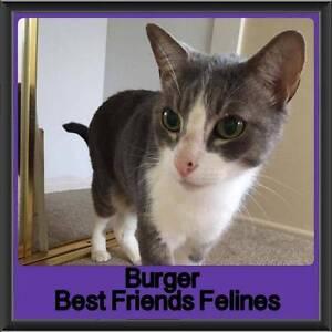 Burger - Best Friends Felines Capalaba Brisbane South East Preview
