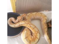 Male Banana Spider Royal Python