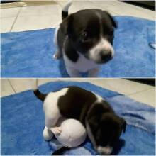 Mini foxie male pups Low Head George Town Area Preview