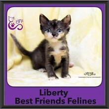 Liberty - Best Friends Felines Welshpool Canning Area Preview