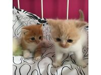 Adorable Ginger and Cream PERSIAN X boy & girl available