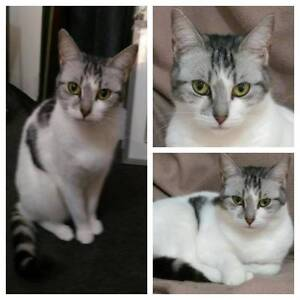 AC0264 : Sweetie - CAT for ADOPTION - Vet Work Included Merriwa Wanneroo Area Preview