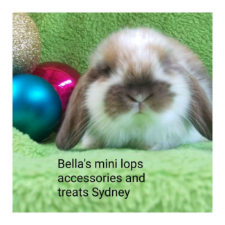 🎅🎄 Quality vaccinated purebred mini lop  Christmas package deal