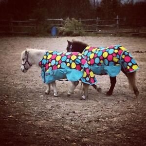 LOOKING FOR A MINIATURE GELDING