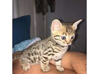 BENGAL KITTENS READY THIS WEEKEND! - ONLY 2 FEMALES REMAINING!