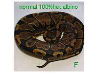 baby royal pythons cb 16 normal 100% het albino, spider, mojave ,mystic