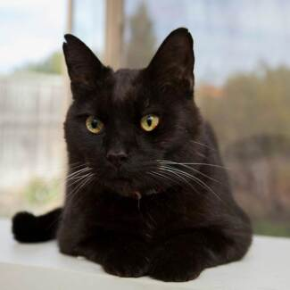 AC0160 : Twitch - CAT for ADOPTION - Vet work included Ellenbrook Swan Area Preview