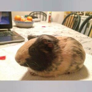 guinea pig + accessories