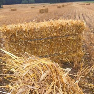Clean wheat straw for sale 2018 small bales corn stalks pumpkins