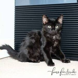 2530 : Dakota - KITTEN for ADOPTION - Vet Work Included