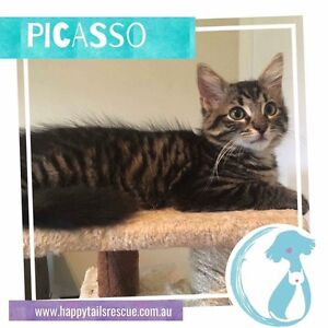 Picasso - Rescue Kitten Brisbane City Brisbane North West Preview