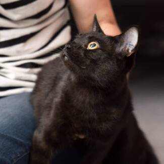 AK1558 : Betty - CAT for ADOPTION - Vet Work Included