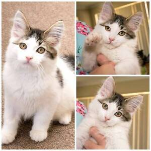 AK1596 : Baxter - KITTEN FOR ADOPTION - Vet Work Included Canning Vale Canning Area Preview