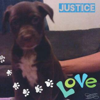 Pre-adoptions now open for 6 week old Justice Rotti x Cattle Dog Ipswich Ipswich City Preview