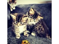 Kittens 3 boys one girl
