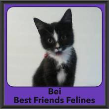 Bei - Best Friends Felines Taringa Brisbane South West Preview