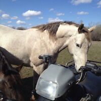 7 year old gelding for sale!