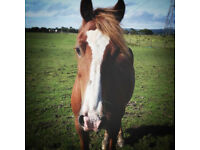 14.3hh 10yr old, chestnut Welsh cob gelding for part loan 2-3 days per week