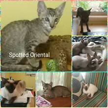 SIAMESE & ORIENTAL KITTENS PUREBRED - NO PAPERS Bellmere Caboolture Area Preview