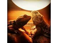 2 bearded dragons and tank