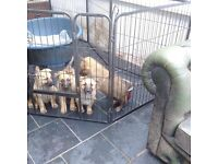 4 Gorgeous Gold German Shepherd Puppies for Sale