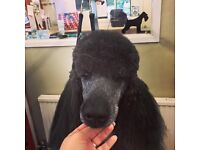 Learn to Groom Dog Professionally/ Dog grooming Courses
