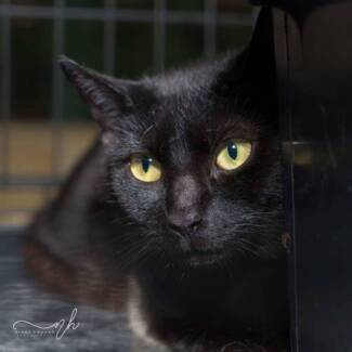 AC0541 : Pepper - CAT for ADOPTION - Vet Work Included
