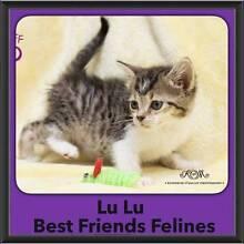 Lulu - Best Friends Felines McDowall Brisbane North West Preview