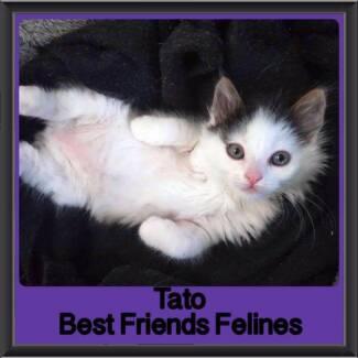 Tato - Best Friends Felines