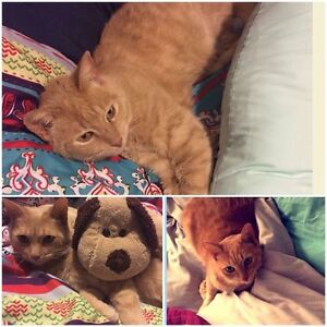 Lost cat Glenroy Moreland Area Preview