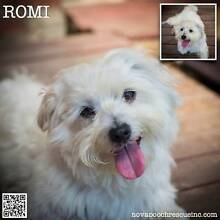 Romi - Small Male Maltese Blend Dungog Dungog Area Preview