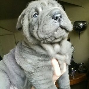 Chinese Blue Shar Pei