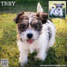 Trey - Small Male Jack Russell Terrier Blend Pupppy Metford Maitland Area Preview