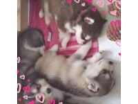 Husky puppies only 4 weeks old. Ready to go soon. These
