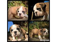 Gorgeous litter of British Bulldogs
